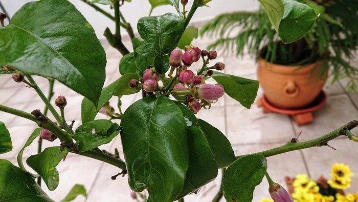 Knoppar på citronträdet