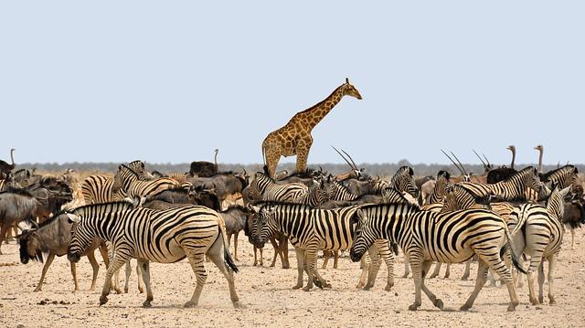 Giraff och zebror
