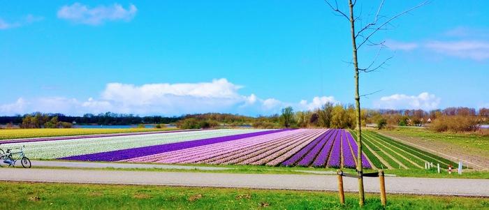 Blomsterfält i Holland