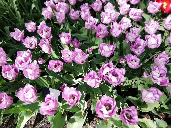 Lila tulpaner från Keukenhof