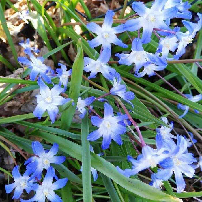 Ljusblå scilla