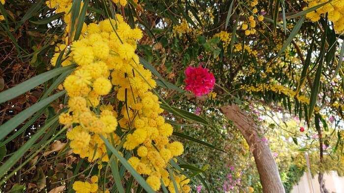 Mimosa och bougeainvilla