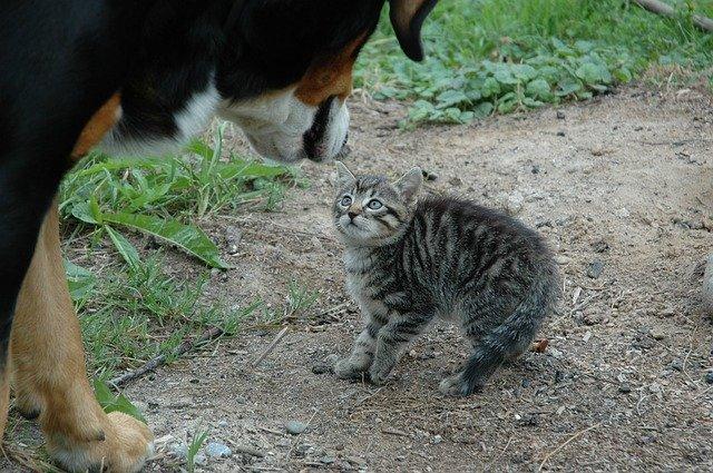 Liten katt och stor hund